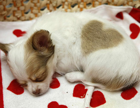 cute-chihuahua-love-heart-puppy-pjlighthouse-05