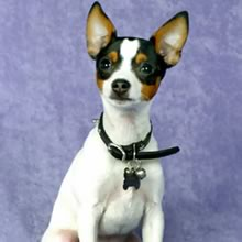 toy_fox_terrier
